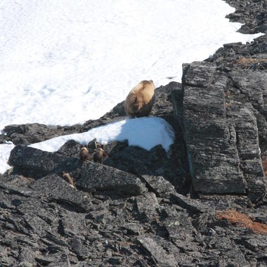 Brown bears from Beringia aerial survey 7