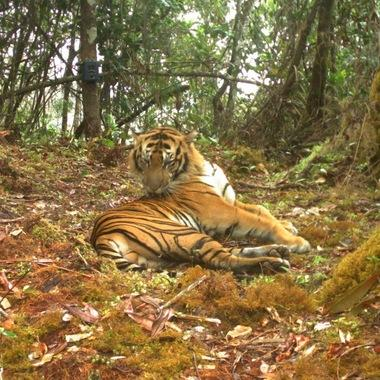 Sumatran tiger camera trap 4