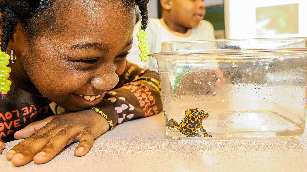 66rlratcyv wcs edu hero school partner julie larsen maher 6018 yellow harlequin frog with girl anthony j genovesi environmental study center brooklyn 05 12 11