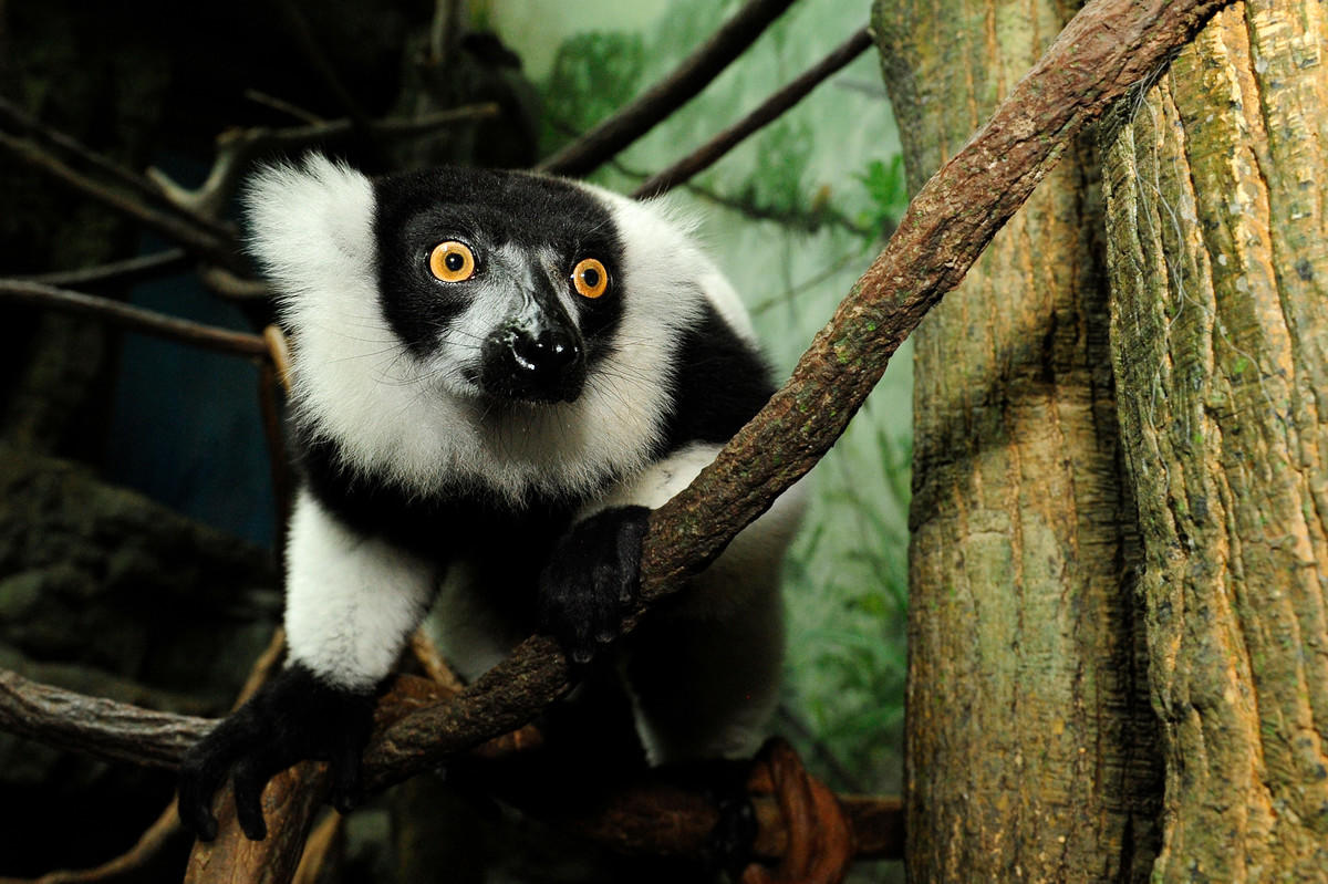 8um5amfzun julie larsen maher 0047 black and white ruffed lemur tro cpz 01 05 09