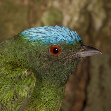 WCS Blue-crowned Manakin