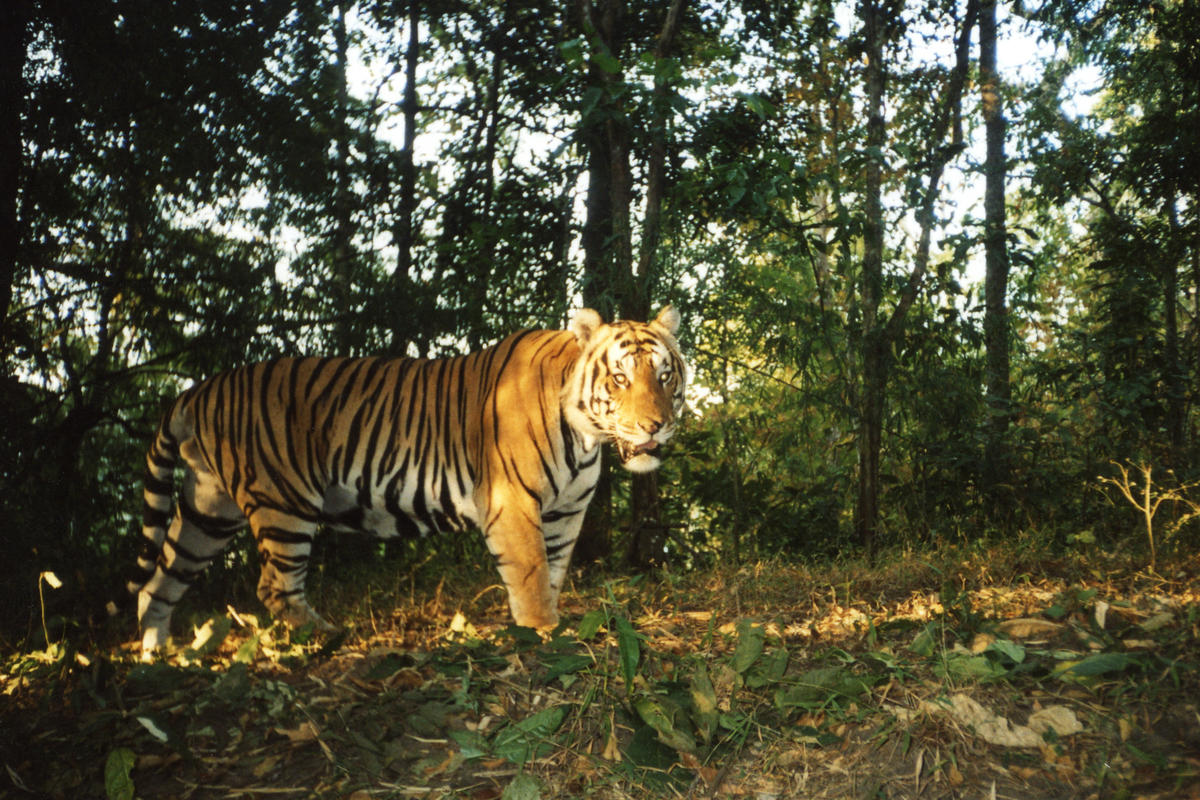 2pcp9qridp tiger camera trap i