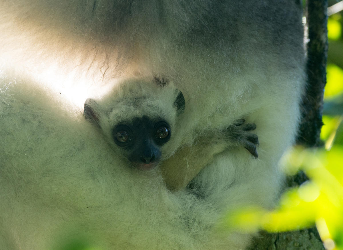 7riqfbhmf1 3 sifaka baby credit a