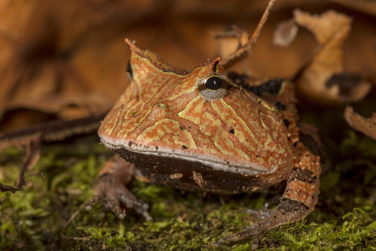 P8xjallia amazonian horned frog credit rob wallace wcs