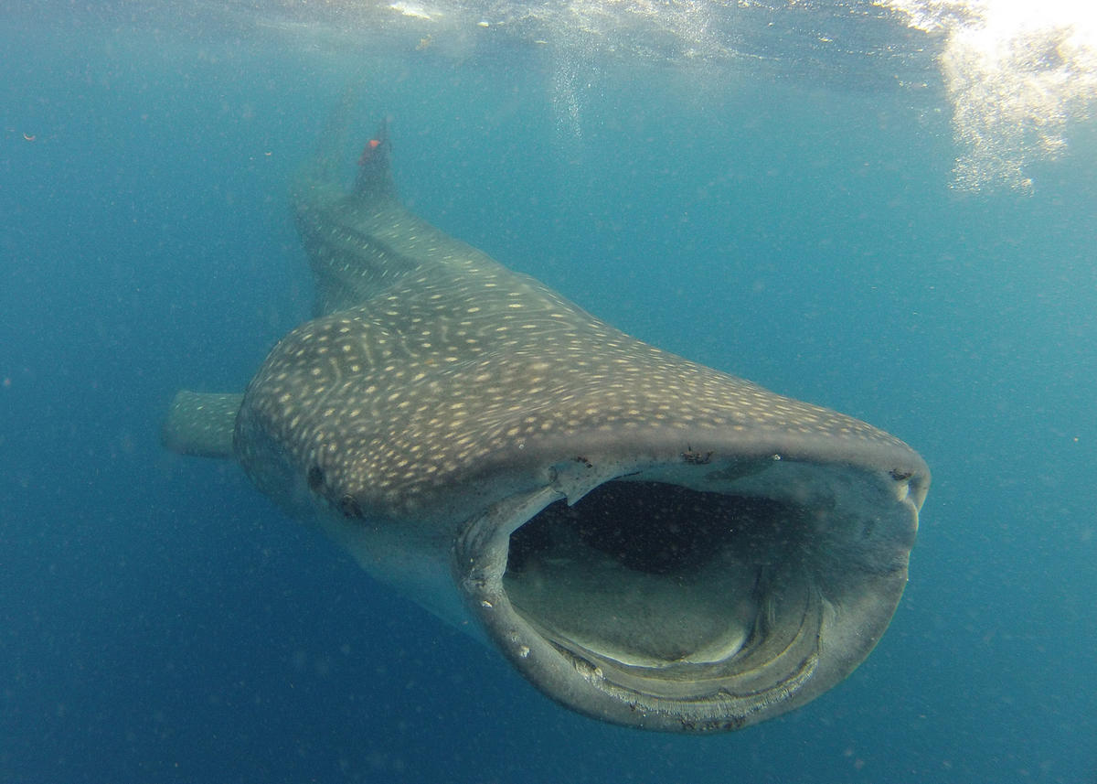 3z6gio06mb 3 cmcclennen whaleshark gulfofmexico small