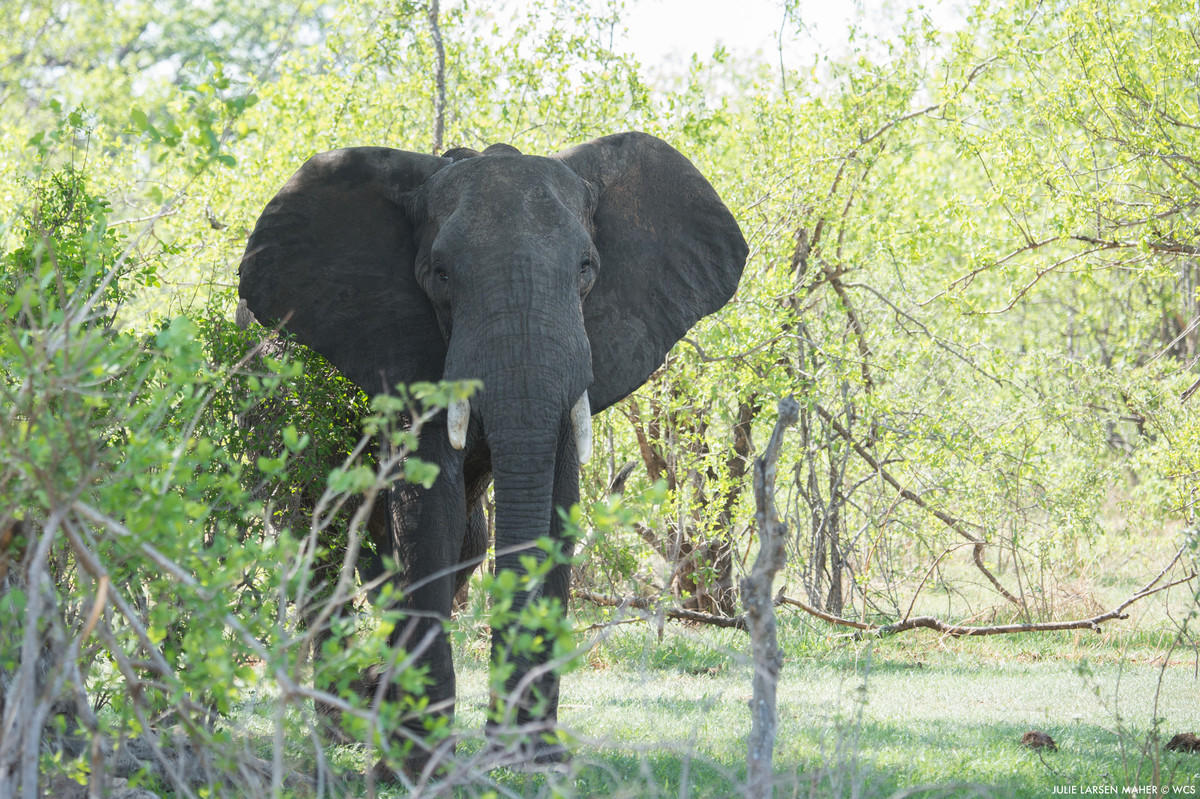 5g9b1wt7wi julie larsen maher 6835 african elephant tza 11 25 15