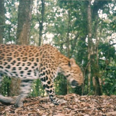 WCS Leopard on camera trap
