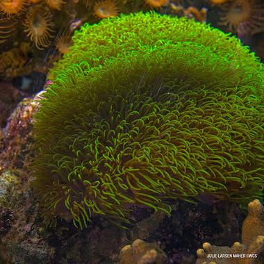 Green star polyp aq