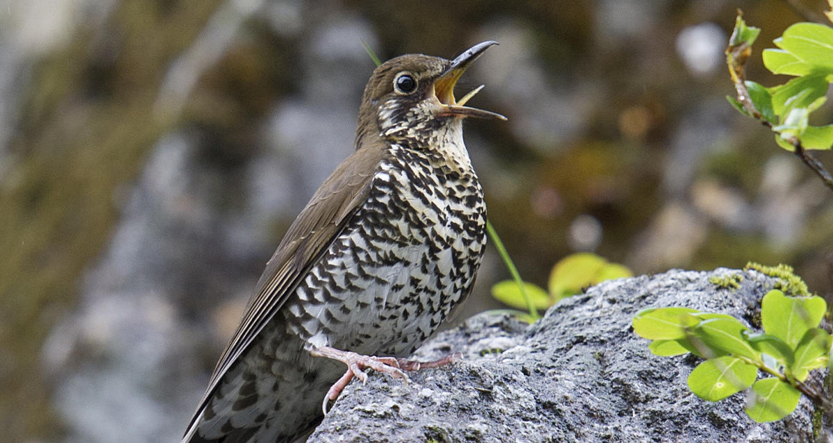 7yl6lcnsrd himalayan forest thrush dulongjiang 26june 2014 photo craig brelsford