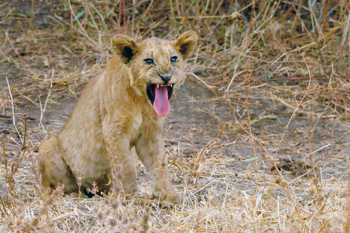 3tru5pd9c0 julie larsen maher 6724 african lion cub with open mouth in the wild zmb 07 31 08