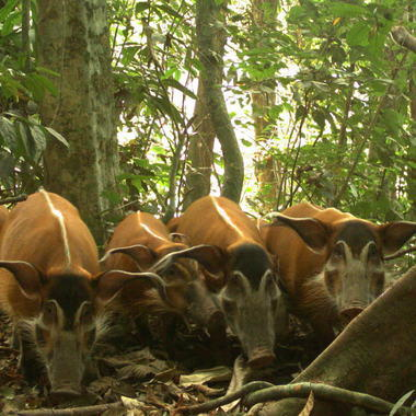 WCS Red River Hogs in Nigeria on camera trap