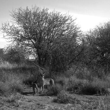 WCS Camera trapped caracal in Kenya