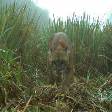 WCS Puma on camera trap