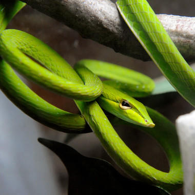 Short nosed vine snake bz