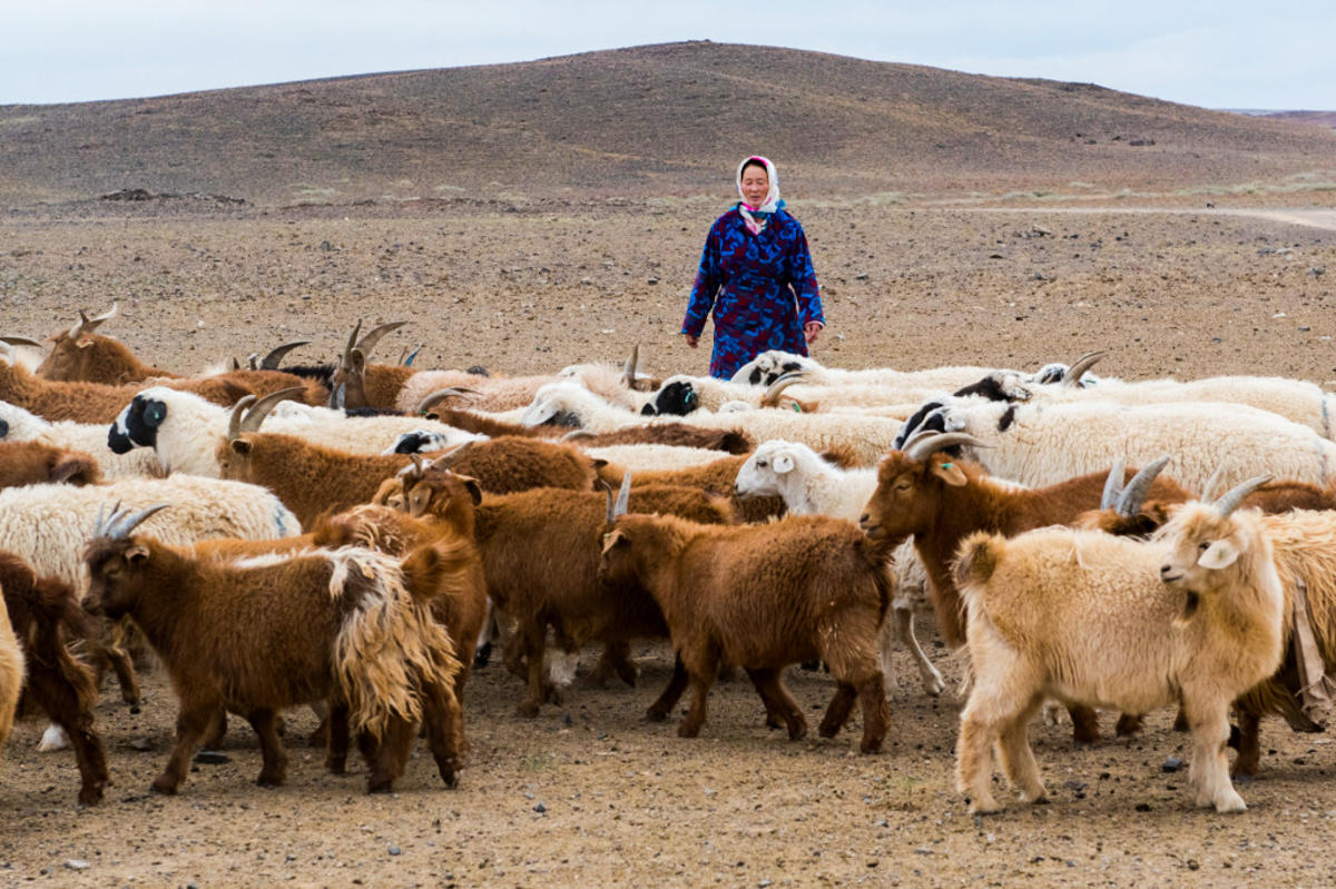 7dtr0ey656 julie larsen maher 3910 herders with domestic goats for cashmere in gobi mng 10 02 16