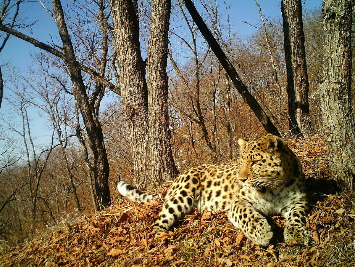 7gnd83wrxa amur leopard credit land of the leopard national park