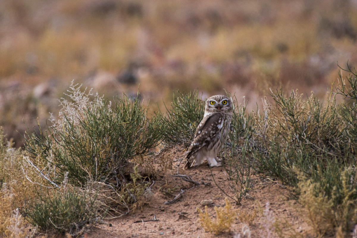 9rjnm9k4g4 julie larsen maher 5526 little owl in gobi mng 10 03 16