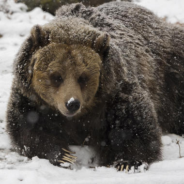 BZ brown bear in snow