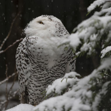 BZ Snowy owl in the snow