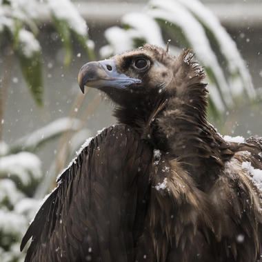 BZ Ciniverous vulture in snow