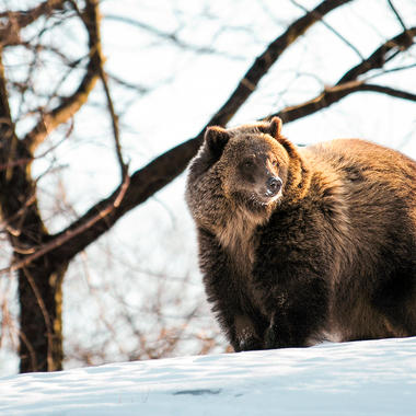 BZ Grizzly bear adult