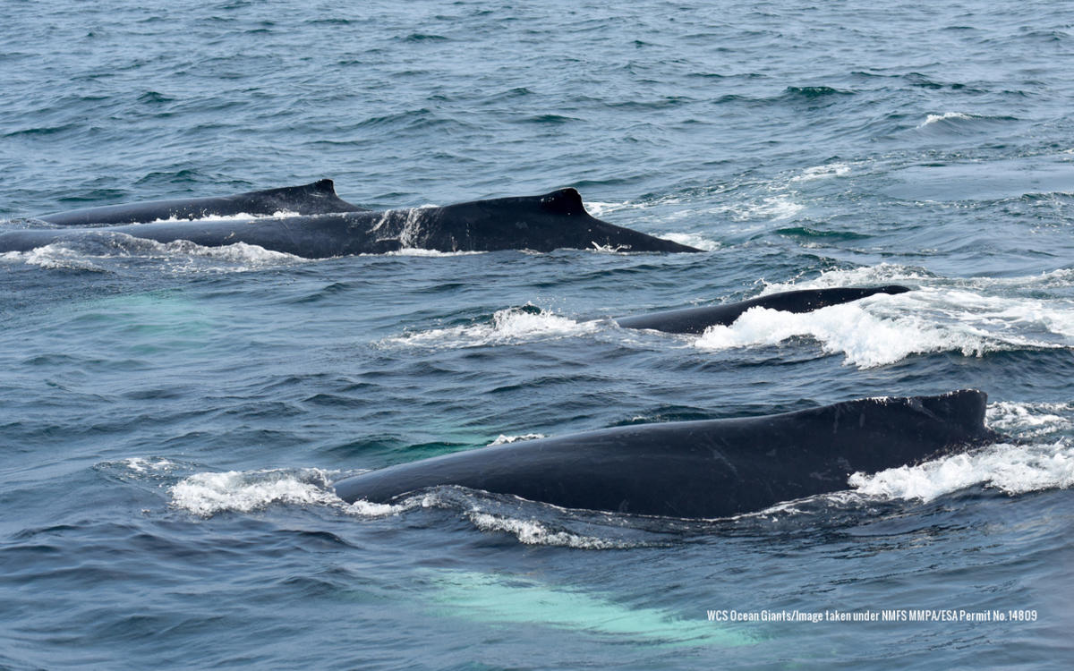 12ikm0dnzc 3 humpbackcompetitivepod lo res wcsoceangiants