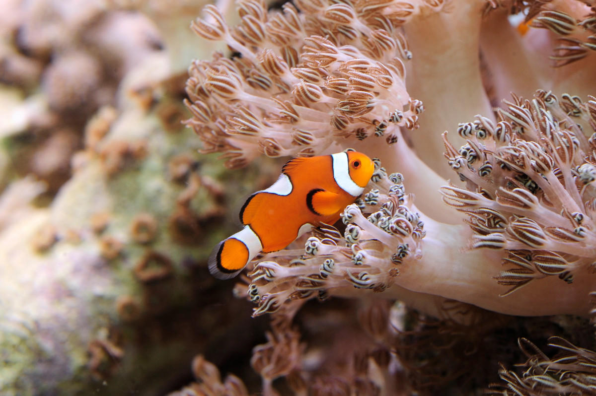 1z070xrp1a julie larsen maher 9429 xenia coral and orange clownfish ch aq 03 30 11