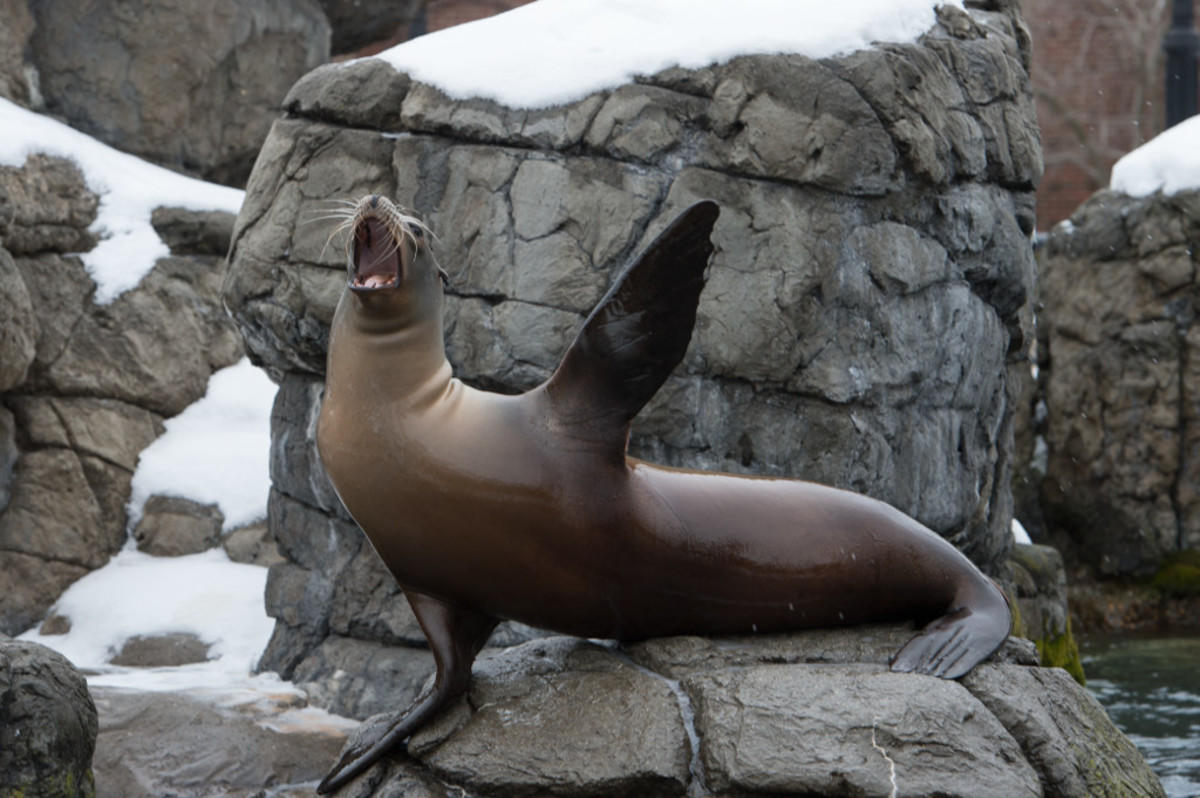6dyny9it99 julie larsen maher 0424 california sea lion in snow slc ppz 02 10 15