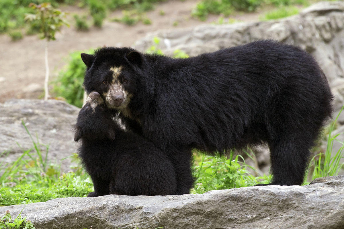3j4sgtr11z  julie larsen maher 1697 andean bear and cub qz 05 01 17