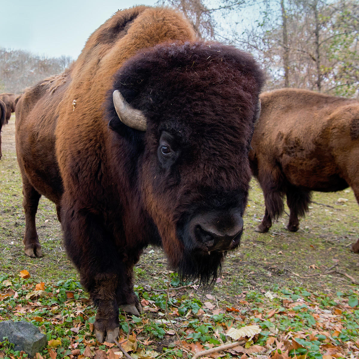 Bison Genetics History Science And Conservation Combined Bronx Zoo