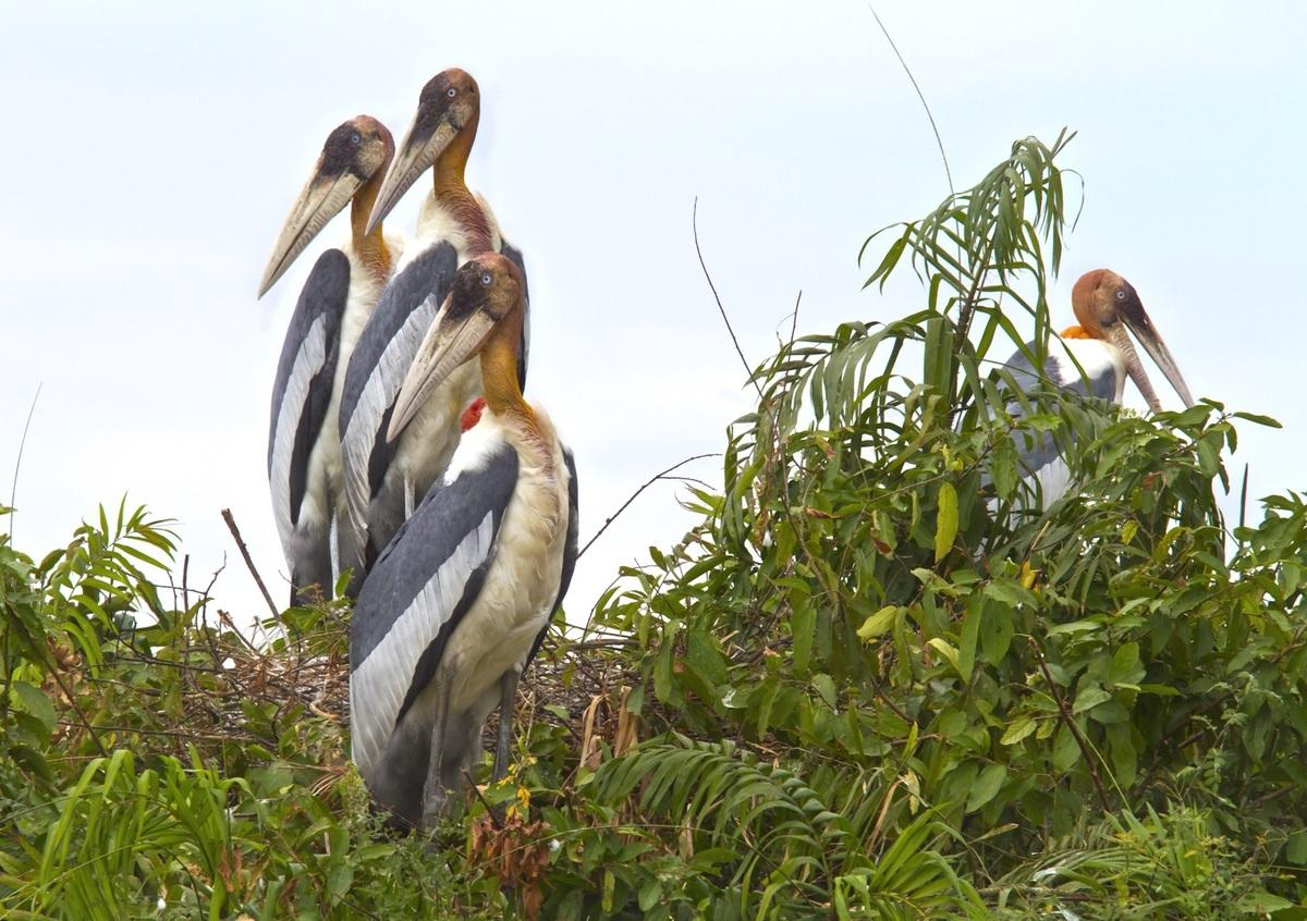 1iy9i22vnt greater adjutant stork credit eleanor briggs wcs