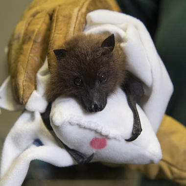 BZ Rodrigues Fruit Bat Pup sock mom