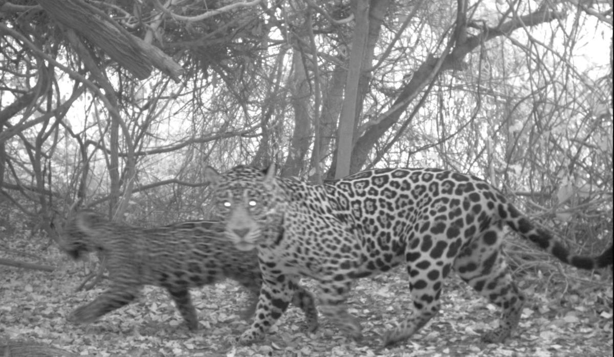 9u06hwybzc jaguar and cub copy