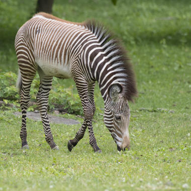 BZ The Zoo Zebra foal eating