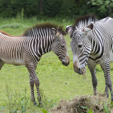 BZ The Zoo Zebra foal and adult