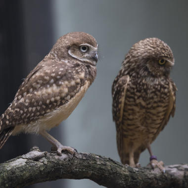 BZ Burrowing Owl gallery two