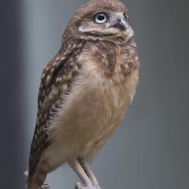 BZ Burrowing Owl gallery baby