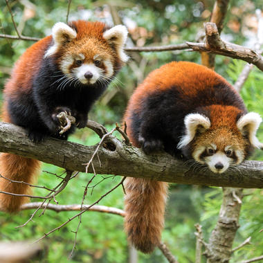 PPZ red pandas in tree