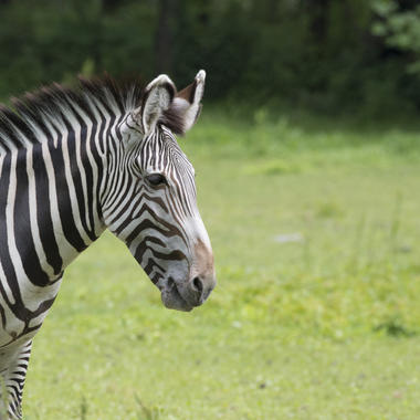 BZ The Zoo Zebra adult