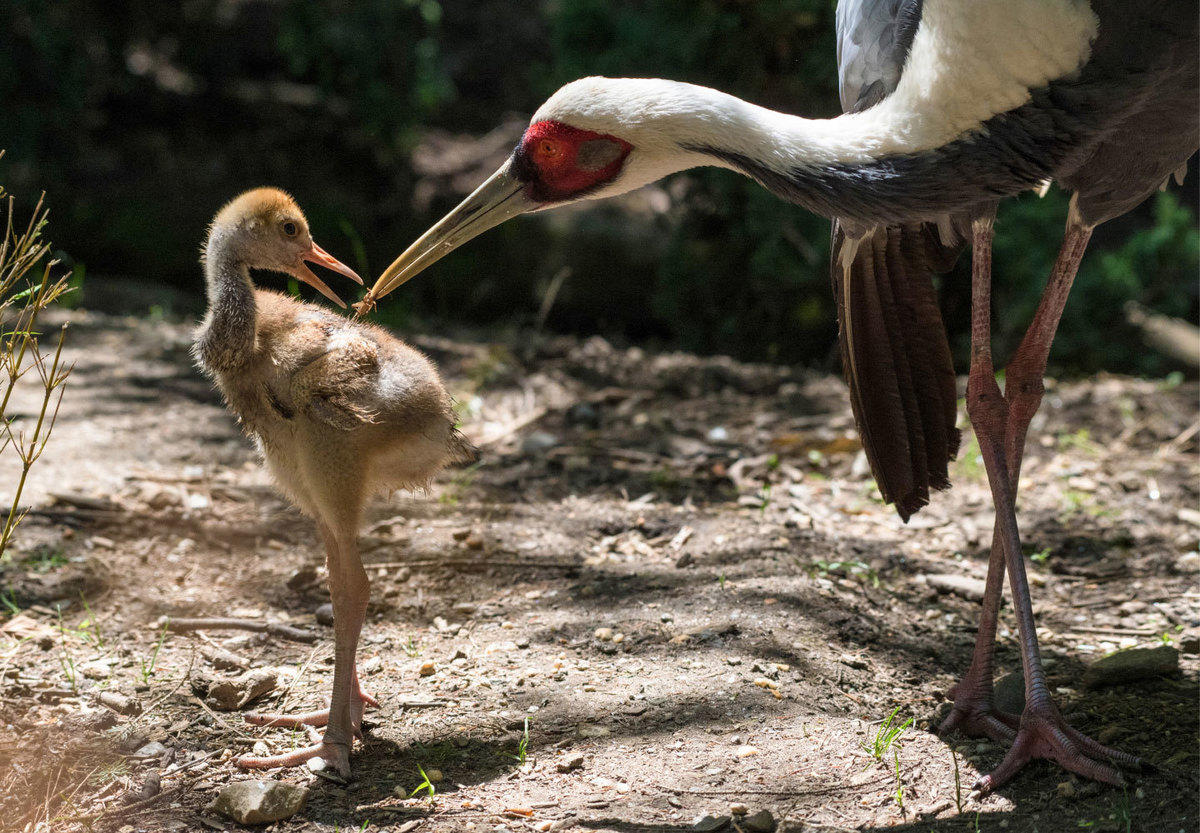 4blgp4ltkf julie larsen maher 6829 white naped cranes and chick cpz 05 17 17 2