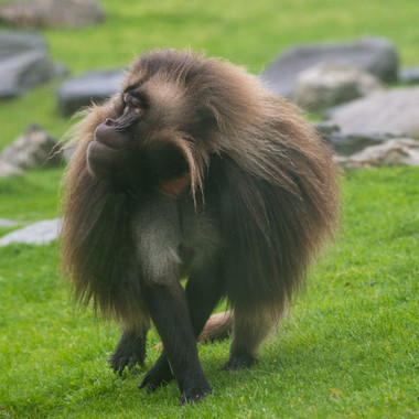 BZ The Zoo Gelada baboon close up
