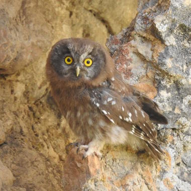 WCS Boreal owl in Afghanistan