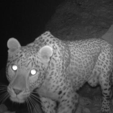 WCS Persian leopard in Afghanistan
