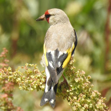 WCS Golden finch in Afghanistan