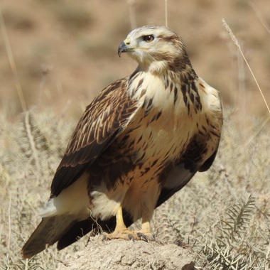 WCS long-legged buzzard (square)