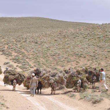 WCS Shrub harvest in Bamyan Plateau Protected Area (square)