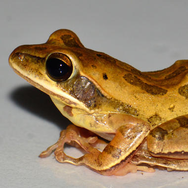 WCS 2019 top photos -- Polypedates bengalensis (new frog species)