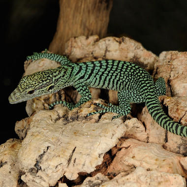BZ emerald tree monitor