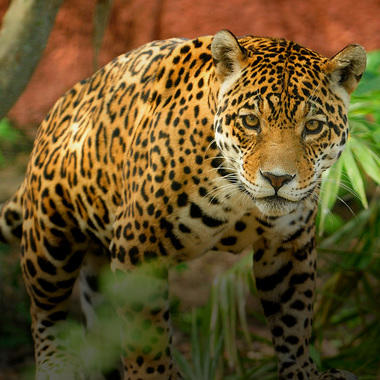 WCS WWD Hero: Jaguar