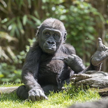 BZ gorilla baby with hand in air